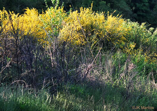 image of Cytisus scoparius, Scotch Broom