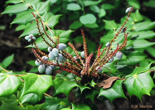 berry: Mahonia bealei, Leatherleaf Mahonia, Chinese Mahonia, Holly-grape