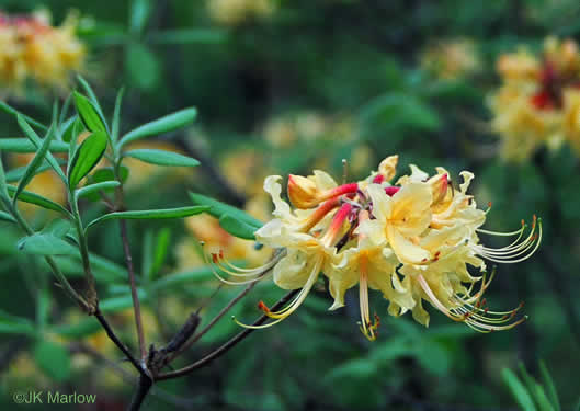 picture of -, image of Rhododendron austrinum