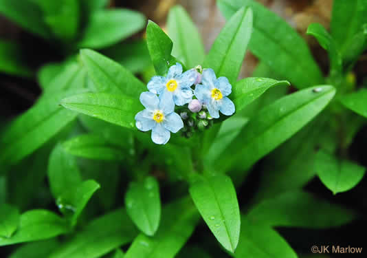 flower of Myosotis laxa ssp. laxa, Smaller Forget-me-not, Marsh Forget-me-not, Tufted Forget-me-not