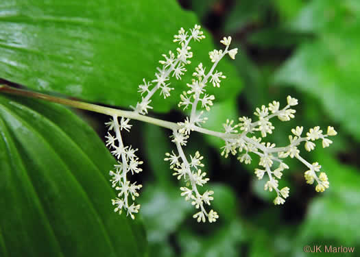 flower of Maianthemum racemosum, False Solomon's Seal, Eastern Solomon's Plume, May-plume