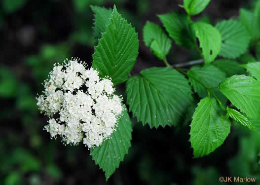 flower of Viburnum recognitum, Smooth Arrowwood, Southern Arrowwood