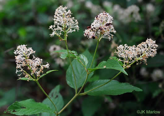 image of Ceanothus americanus +, New Jersey Tea, Redroot