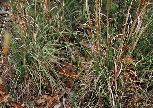 "image of Andropogon virginicus var. virginicus, Broomsedge, Broomsedge Bluestem, Old-field Broomstraw, ""Sedge Grass"""