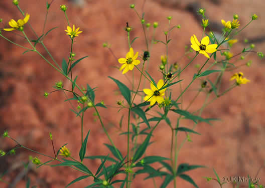 image of Coreopsis major var. rigida, Whorled Coreopsis, Stiffleaf Coreopsis, Greater Tickseed, Whorled Tickseed