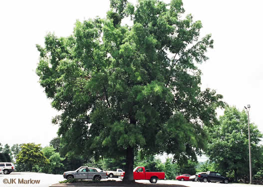 image of Quercus phellos, Willow Oak