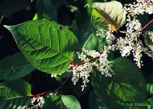 calyx: Reynoutria japonica, Japanese Knotweed