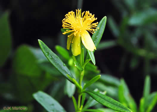image of Hypericum prolificum, Shrubby St. Johnswort