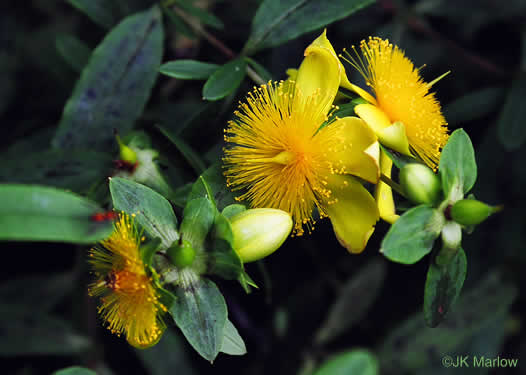 image of Hypericum frondosum, Golden St. Johnswort