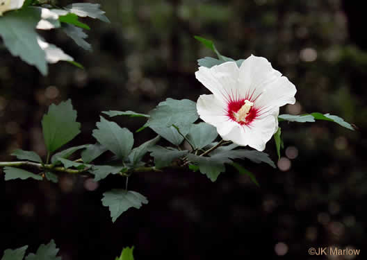 flower of Hibiscus syriacus, Rose-of-Sharon, Althea