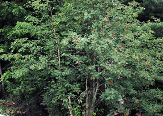 image of Sorbus aucuparia ssp. aucuparia, European Mountain-ash, Rowan