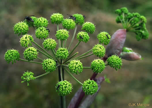image of Angelica triquinata, Mountain Angelica, Filmy Angelica, Appalachian Angelica