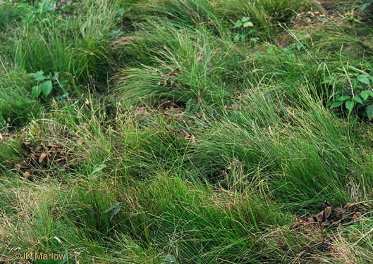 image of Carex pensylvanica, Pennsylvania Sedge, High Meadow Sedge