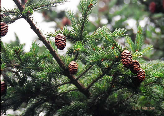 conifers (not including Pines): Picea rubens, Picea rubens, Picea rubens