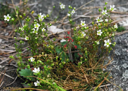 image of Mononeuria groenlandica, Greenland Sandwort, Mountain Sandwort