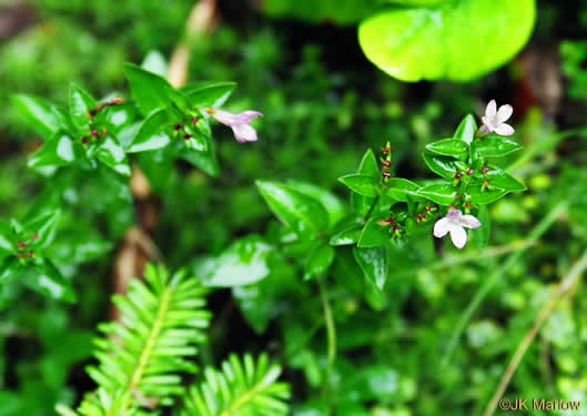 image of Houstonia montana, Roan Mountain Bluet