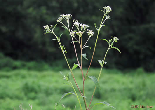 corymb: Verbesina virginica var. virginica, White Crownbeard, Common Frostweed, White Wingstem, Virginia Wingstem