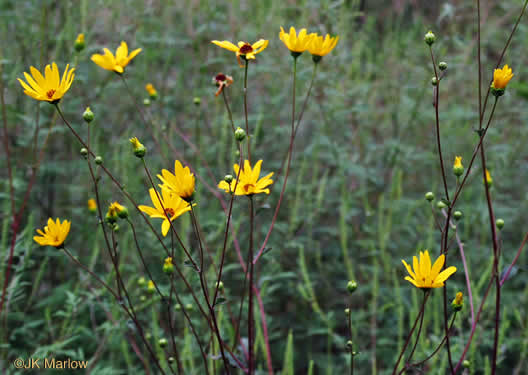 image of Helianthus atrorubens