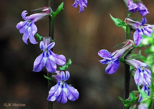 flower of Lobelia puberula +, Downy Lobelia, Hairy Lobelia