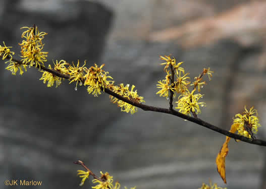 image of Hamamelis virginiana var. virginiana, American Witch-hazel, Northern Witch-hazel