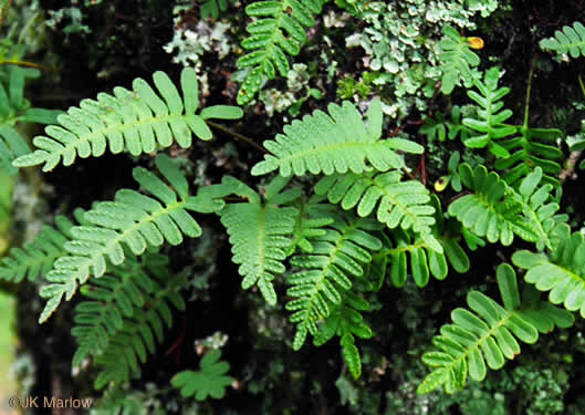 image of Pleopeltis michauxiana, Resurrection Fern, Scaly Polypody