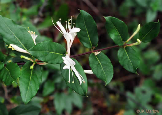 image of Lonicera japonica, Japanese Honeysuckle