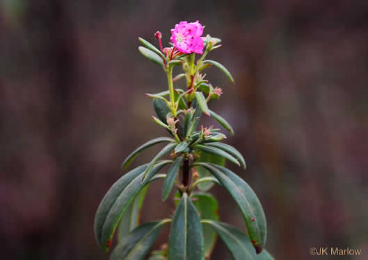 coriaceous: Kalmia carolina, Southern Sheepkill, Carolina Wicky, Carolina Sheep-laurel, Carolina Bog Myrtle