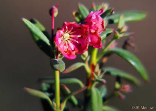 image of Kalmia carolina, Southern Sheepkill, Carolina Wicky, Carolina Sheep-laurel, Carolina Bog Myrtle