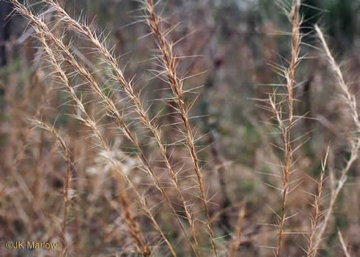 spikelet: Aristida purpurascens, Aristida purpurascens var. purpurascens, Aristida purpurascens