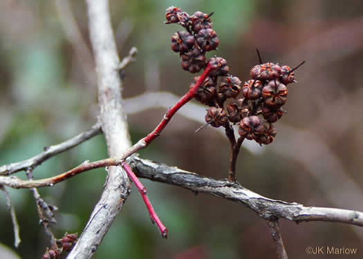 fruit of Eubotrys recurvus, Mountain Sweetbells, Mountain Fetterbush, Deciduous Fetterbush