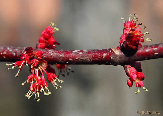 Acer rubrum var. rubrum, Eastern Red Maple