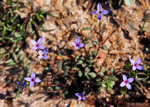 image of Houstonia pusilla, Tiny Bluet, Small Bluet