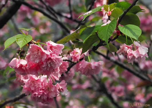 image of Prunus ×yedoensis, Yoshino Cherry