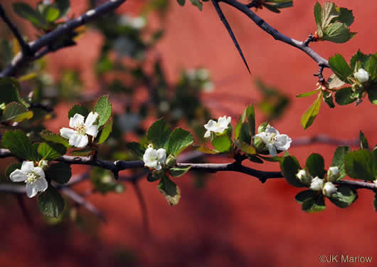 picture of Crataegus flava, image of Crataegus munda