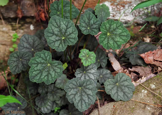image of Heuchera parviflora, Cave Alumroot, Small-flower Alumroot