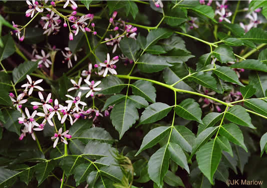 image of Melia azedarach, Chinaberry, Pride-of-India