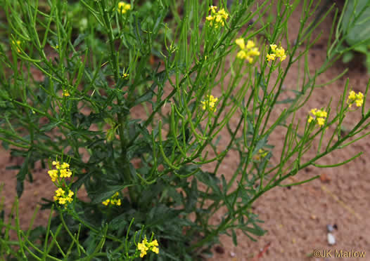 rachis: Barbarea verna, Early Winter-cress, Creasy