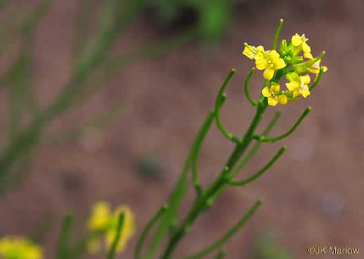 pedicel: Barbarea verna, Early Winter-cress, Creasy