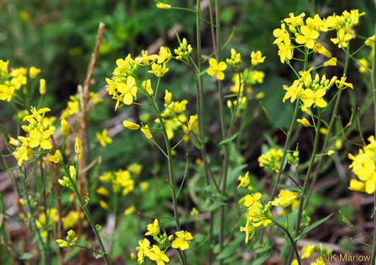flower of Brassica rapa var. rapa, Turnip, Field Mustard, Field Rape, Chinese Cabbage