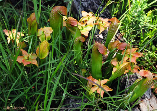 Sarracenia minor var. minor, Hooded Pitcherplant