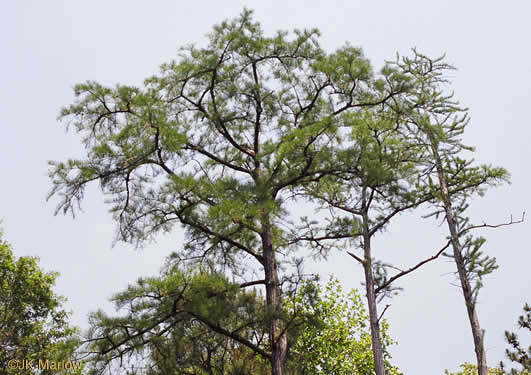 image of Taxodium ascendens