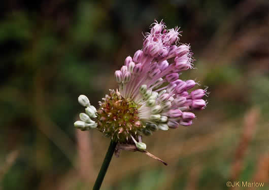 flower of Allium vineale, Field Garlic, Wild Onion, Crow Garlic, Onion Grass