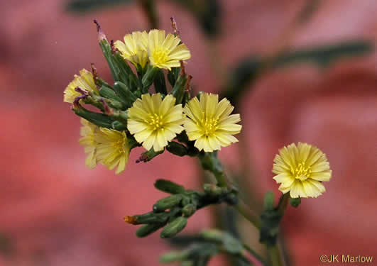 flower of Lactuca serriola, Prickly Lettuce