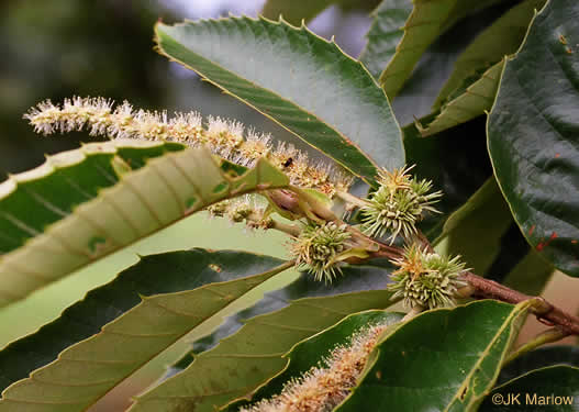 flower of Castanea mollissima, Chinese Chestnut
