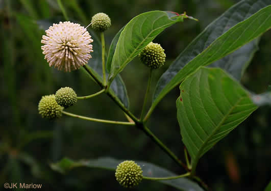 Cephalanthus occidentalis, Buttonbush