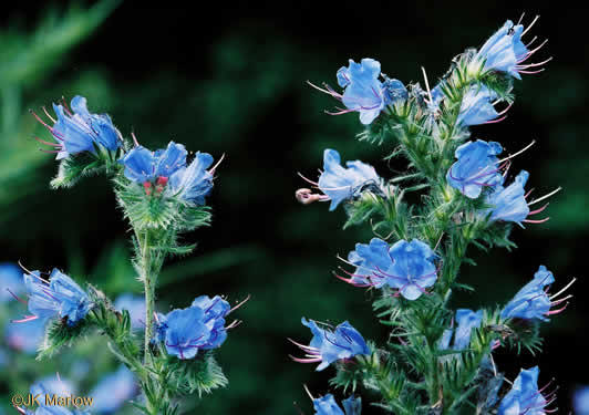 image of Echium vulgare, Viper's Bugloss, Blueweed