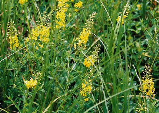 image of Lysimachia terrestris, Swamp Candles, Bog-candles, Bog Loosestrife