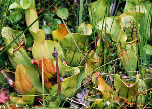 image of Sarracenia purpurea var. purpurea, Northern Purple Pitcherplant