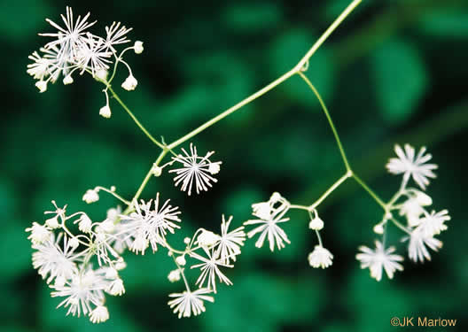 image of Thalictrum pubescens, Common Tall Meadow-rue, King-of-the-meadow, Late Meadow-rue