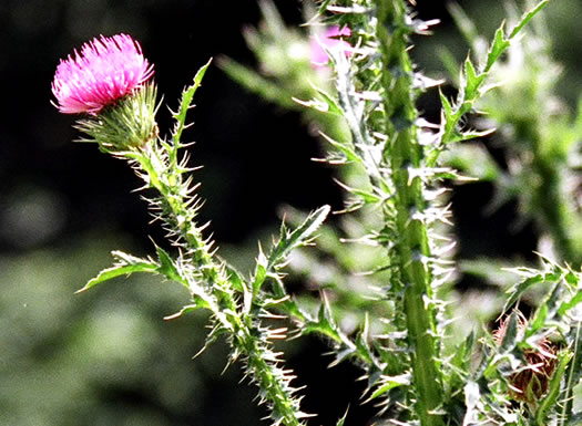 involucral bracts of Thistles: Carduus acanthoides ssp. acanthoides, Carduus acanthoides, Carduus acanthoides